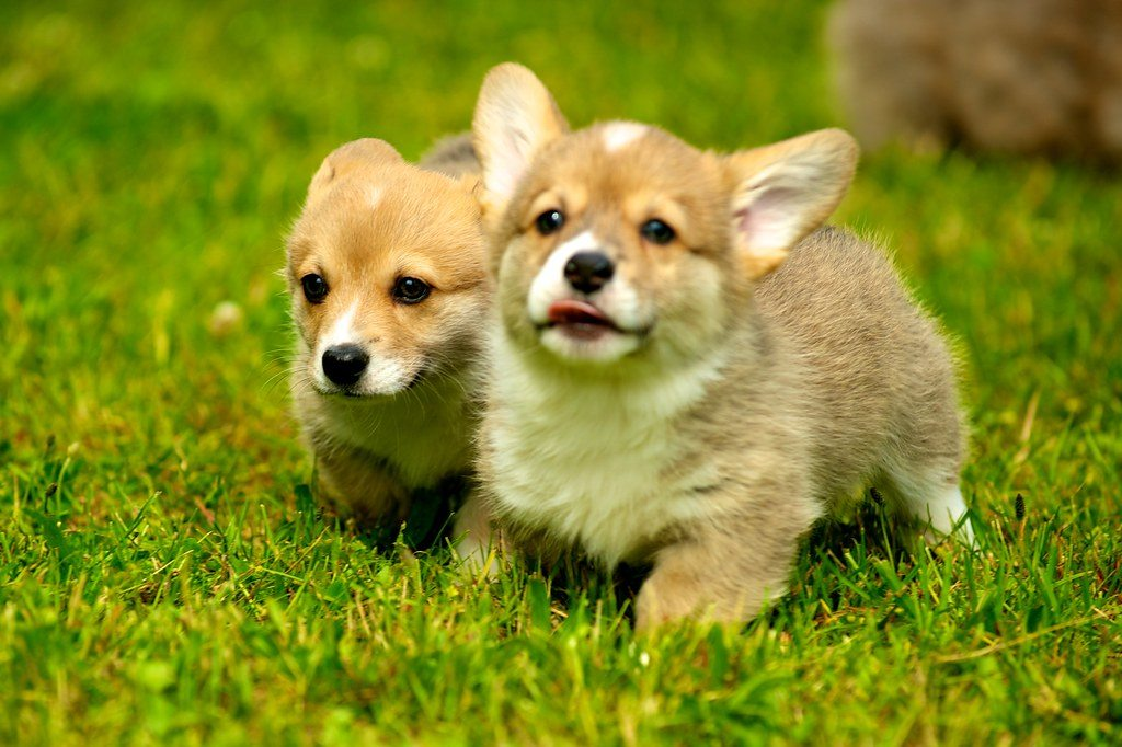 Pembroke Welsh Corgi Frequently Asked Question: Basic Infomation