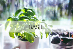Bee Friendly Plant - Basil