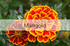Bee Friendly Plant - Marigold