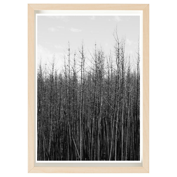 BUSHFIRE RELIEF ART PRINT SERIES - SAMPSON FLAT FIREGROUND - MT CRAWFORD FOREST 2015  *FINE ART PRINT*