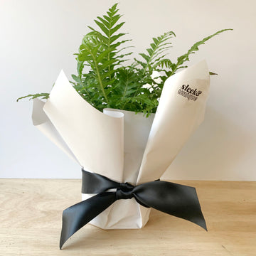 Blechnum Silver Lady Fern Gift for Adelaide Same Day Delivery