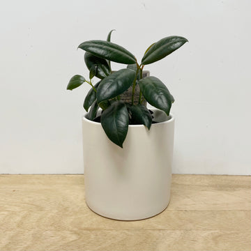 Burgundy Ficus Plant in White Pot - Adelaide Plant Gift Delivery