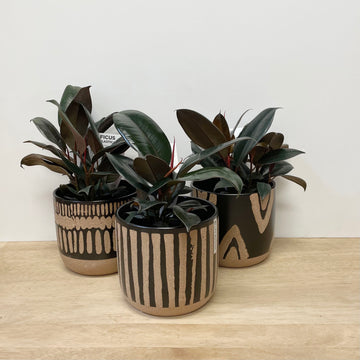 Ficus Burgundy in Earthy Toned Feature Pot - Indoor Plant Gift Delivery