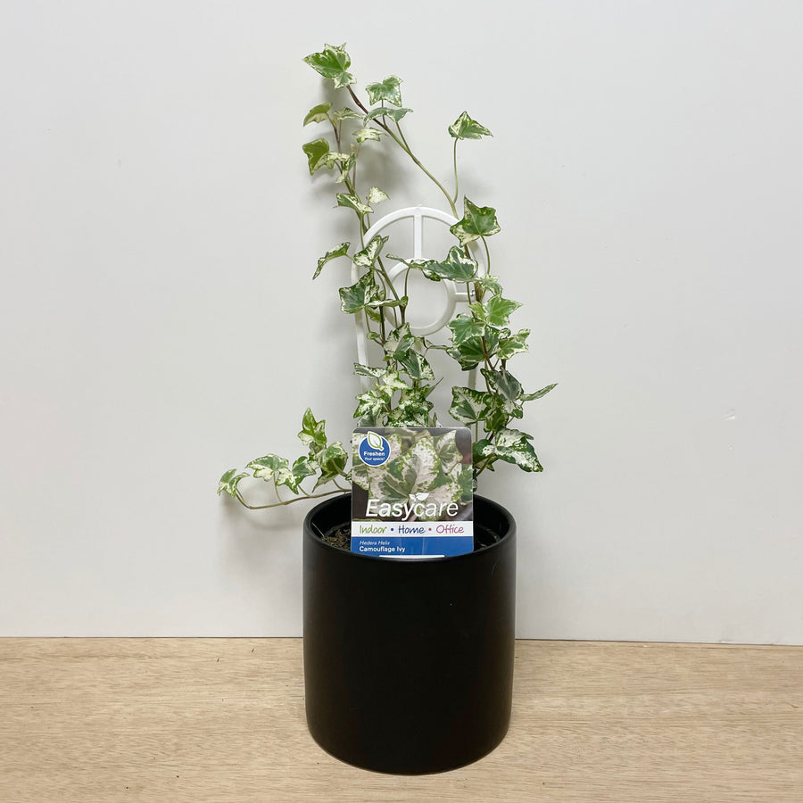 Camouflage Ivy Indoor Plant - Plant Gift Delivery Adelaide