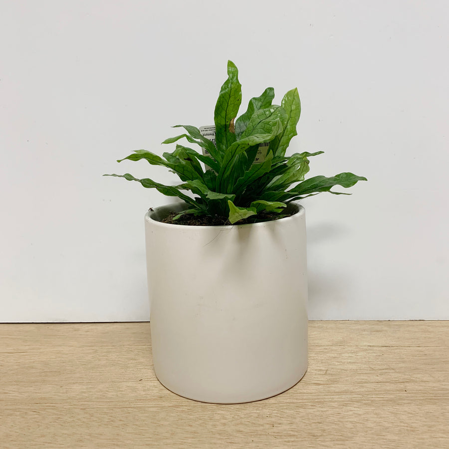 Crocodile Birds Nest Fern Indoor Plant Gift - Sleek and Unique Gifts