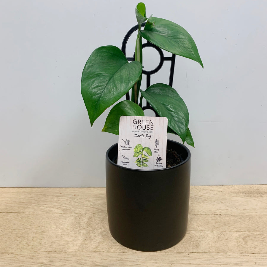 Devils Ivy in Contemporary Black Pot - Indoor Plant Gifts Adelaide