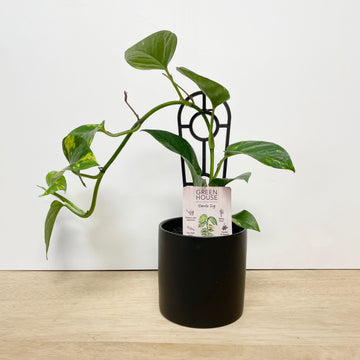 Devils Ivy Plant Gift in Black Pot - Indoor Plant Delivery Adelaide