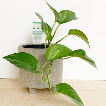 Devils Ivy Plant in Grey Pot - Adelaide Gift Delivery