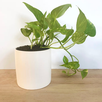 Devil's Ivy Plant Gift - Adelaide Sleek and Unique Gifts