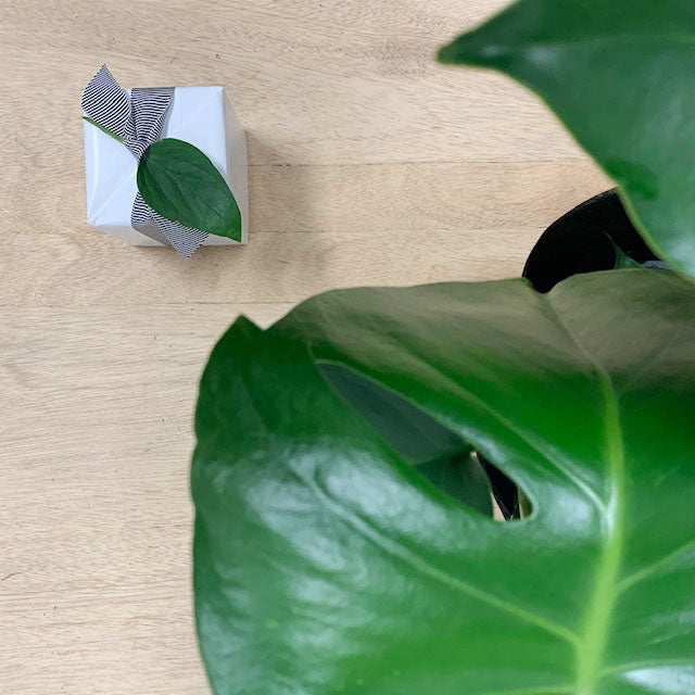 Monstera Plant Gift and Ecosoy Candle - Sleek and Unique Gifts Adelaide