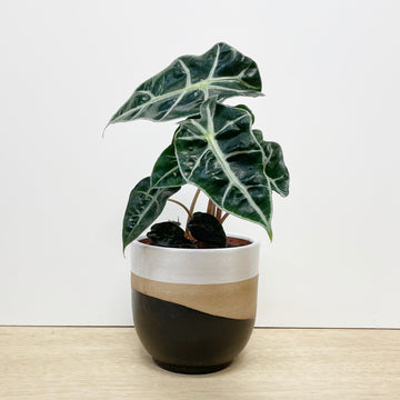 Elephant Ear Plant in Earthy Feature Pot - Indoor Plant Delivery Adelaide