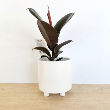 Ficus Elastica In White Pot