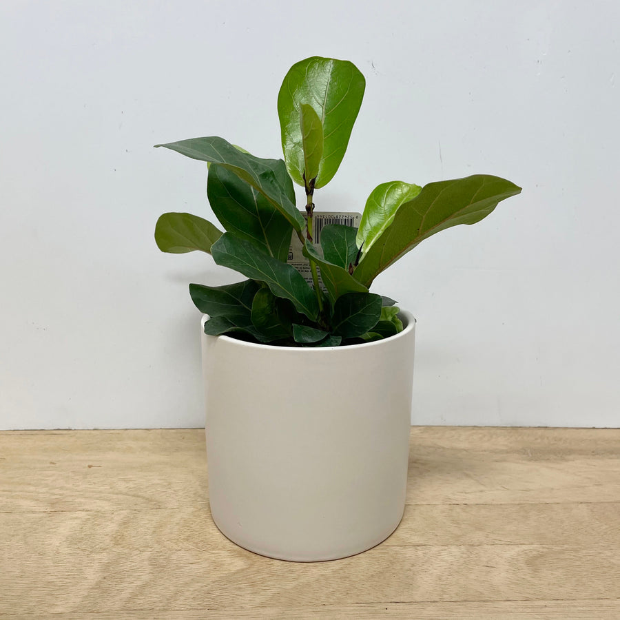 Fiddle Leaf Fig Bambino Plant Gift in White Pot - Indoor Plant Gift Delivery Adelaide