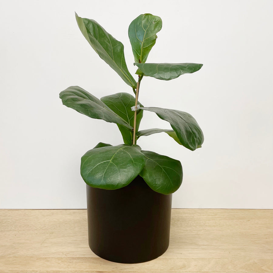 Fiddle Leaf Fig | Ficus Lyrata | Indoor Plant Delivery Adelaide