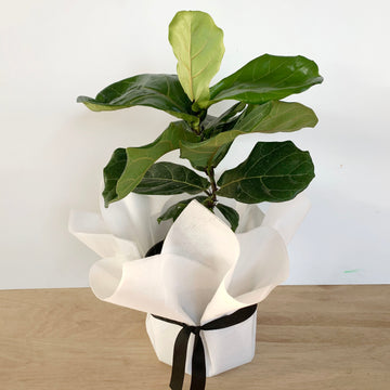 Fiddle Leaf Indoor Plant - Sleek and Unique Gifts