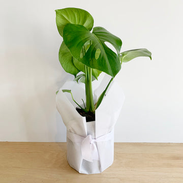 Monstera Indoor Plant - Plant gift Delivery Adelaide