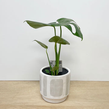 Monstera Plant with Feature Cream & White Pot - Adelaide Plant Delivery