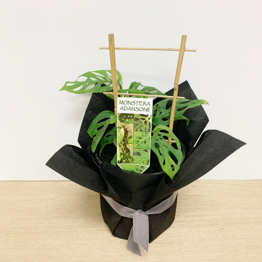 Monstera Swiss Cheese Plant - Sleek and Unique Gifts