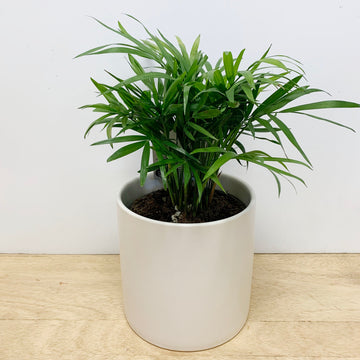 Parlour Palm Indoor Plant Gift - Sleek and Unique Gifts