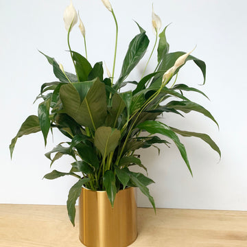Peace Lily in Gold Metallic Pot - Gift Delivery Adelaide