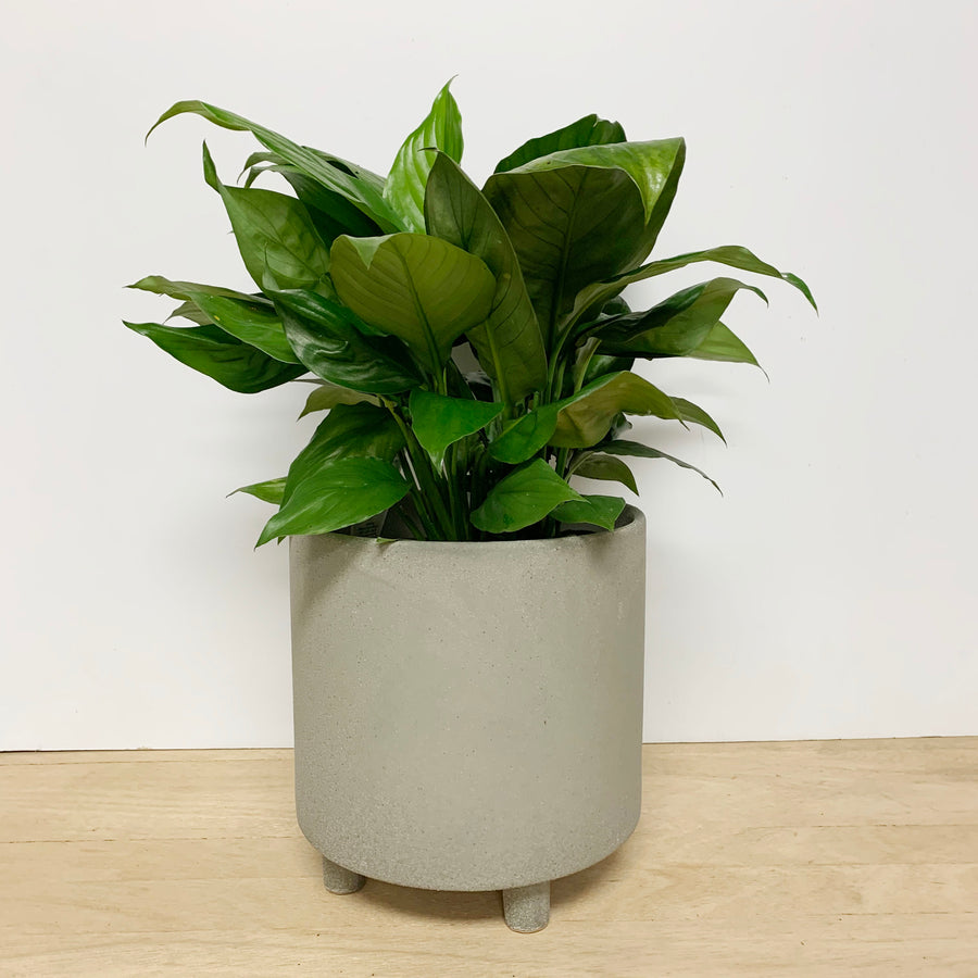 Sensation Peace Lily in Grey Textured Pot - Indoor Plant Gift Delivery