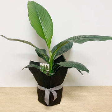 Peace Lily 'Sensation' Large Indoor Plant - Sleek and Unique Gifts