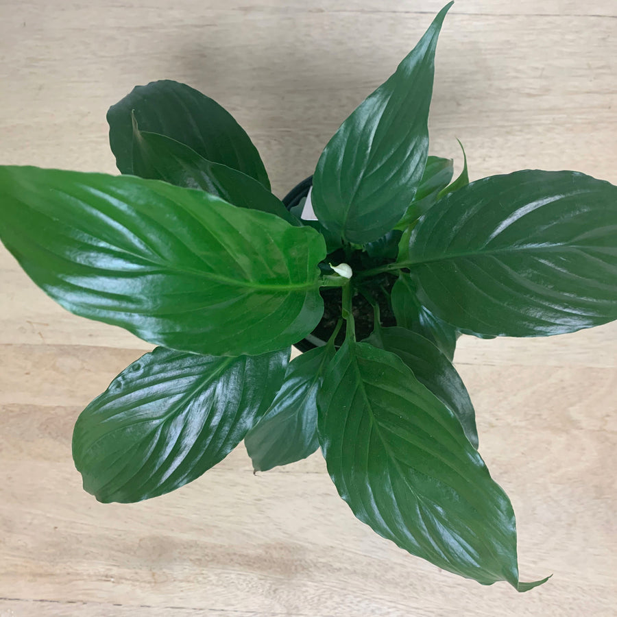 Peace Lily Top View - Sleek and Unique Gifts