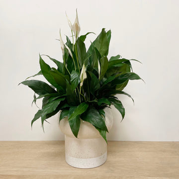 Peace Lily in cream and white ceramic pot - Indoor Plant Delivery Adelaide