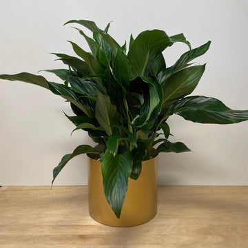 Peace lily Plant Gift  in Brass Metallic Pot - Adelaide Indoor Plant Delivery