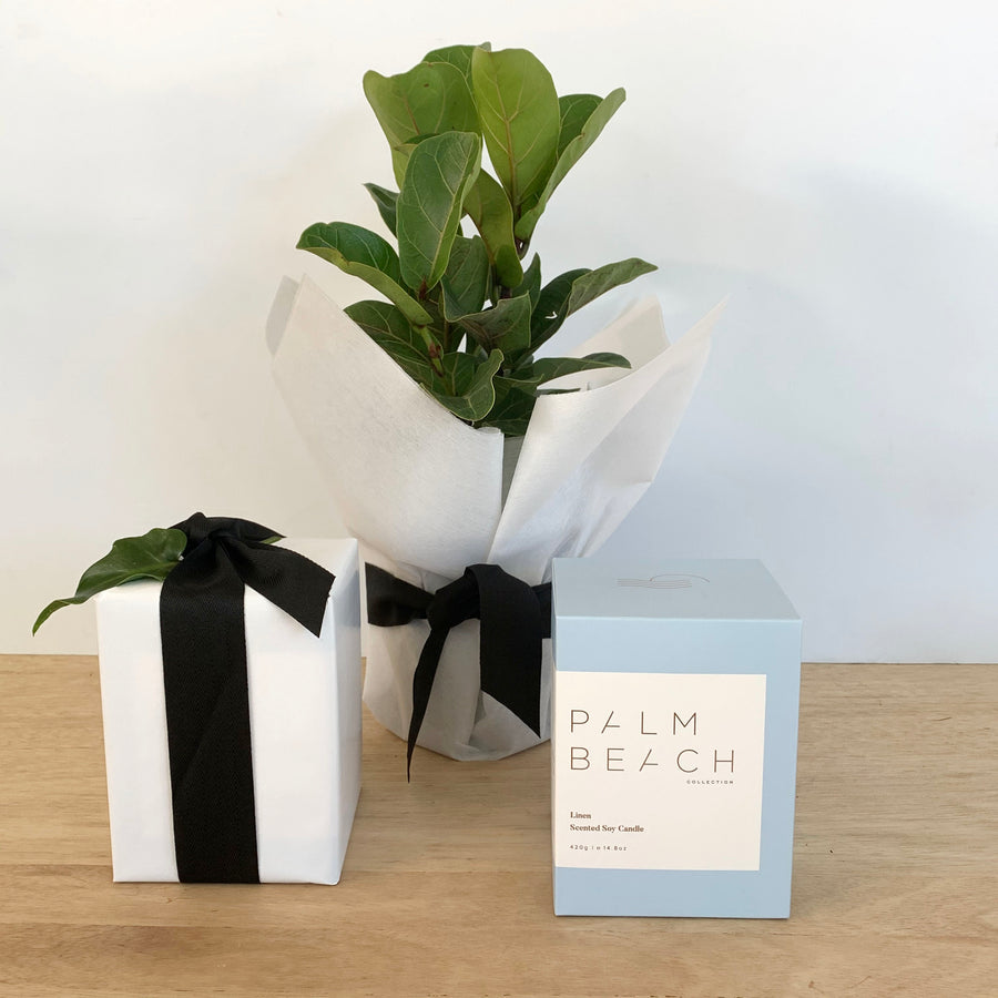 Palm Beach Candle and Ficus Lyrata Bambino Plant Gift Package
