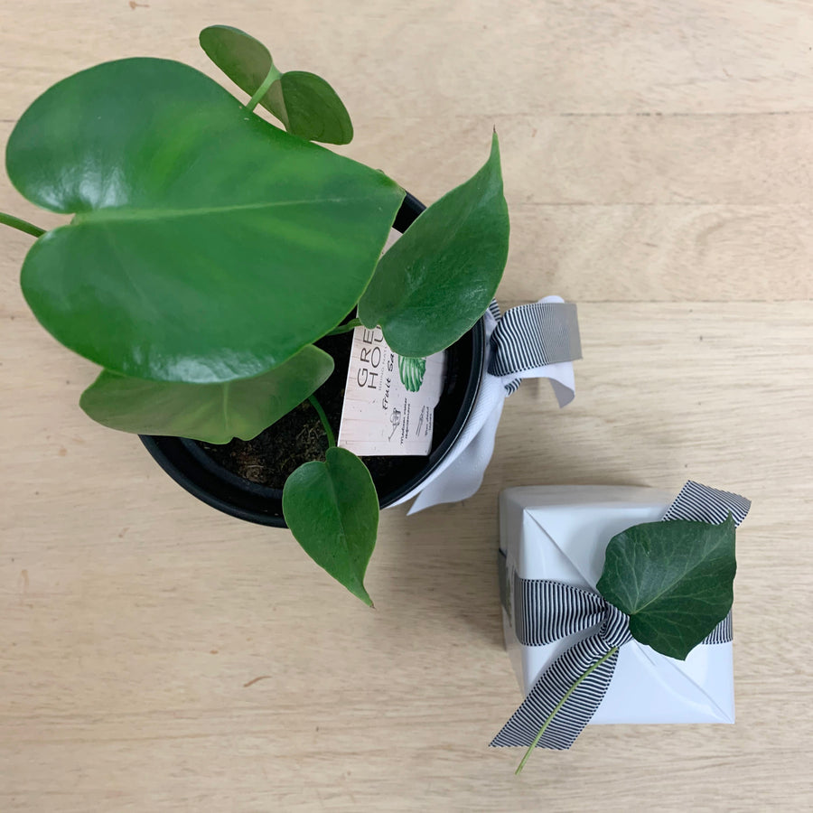 Ecosoy Candle and Indoor Monstera Plant in Contemporary Pot Gift - Gift Delivery Adelaide