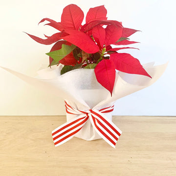 Poinsettia Plant Gift Delivery Adelaide