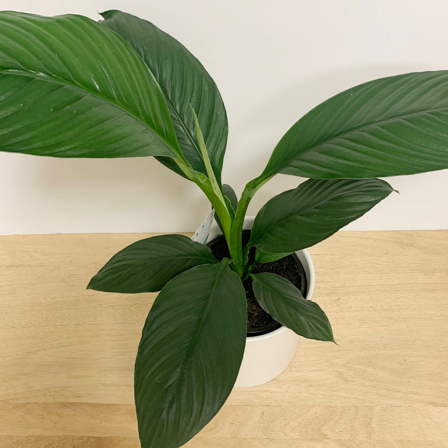 Peace Lily Sensation in White Contemporary Pot - Sleek and Unique Gifts