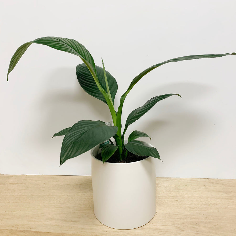 Peace Lily ' Sensation' in White Contemporary Pot - Adelaide Gifts