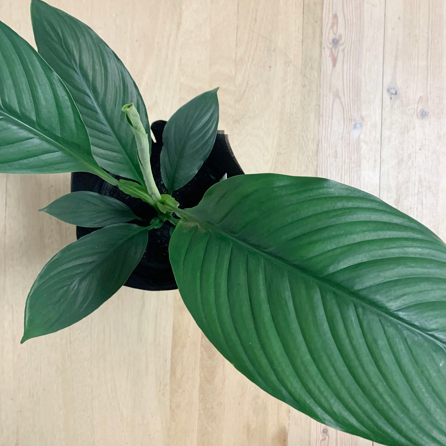 Indoor Plant - Peace Lily Sensation - Adelaide Gift Delivery
