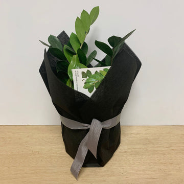 Zanzibar Gem Indoor Plant Gift - Adelaide Gift Delivery Same Day