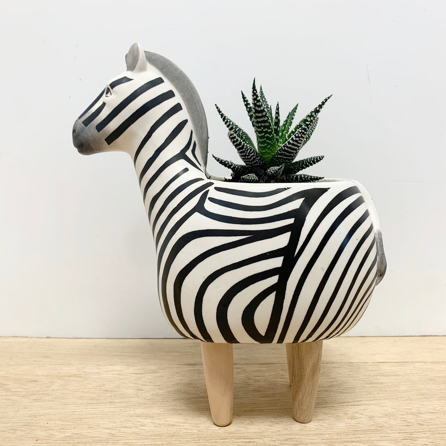 Zebra Indoor Succulent Plant Gift - Adelaide Gift Delivery