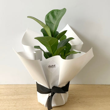 Ficus Lyrata 'Bambino' Plant Gift - Adelaide Gift Delivery