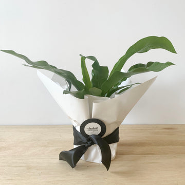 Bird's Nest Plant Gift - Adelaide Plant Delivery