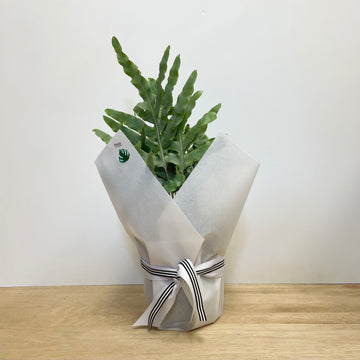 Blue Star Fern Indoor Plant Gifts - Same Day Plant Delivery Adelaide
