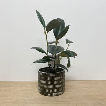 Burgundy Ficus in Black and White Feature Pot - Indoor Plants Delivered Adelaide Same Day