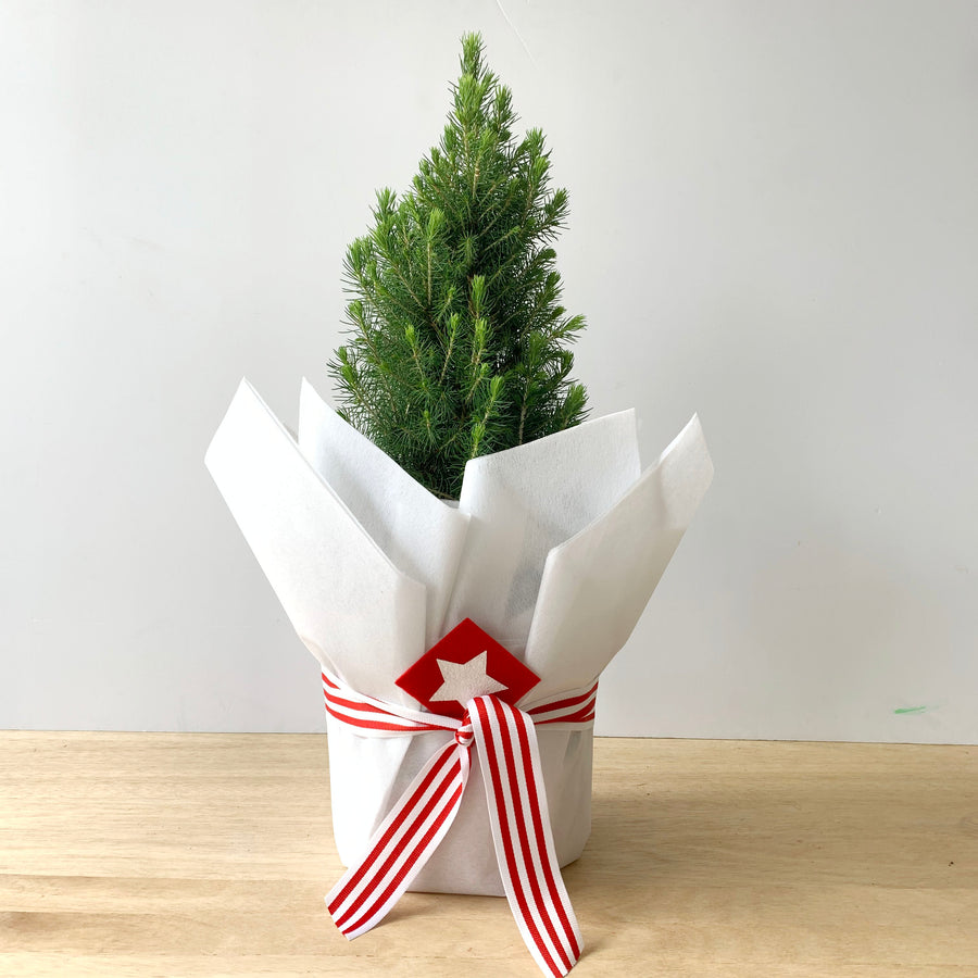 Christmas Star Plant (Picea Glauca) - Adelaide Gift Delivery