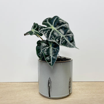 Alocasia Elephant Ears Indoor Plant and Mint Green Pot - Plant Gifts Indoor Adelaide Delivery