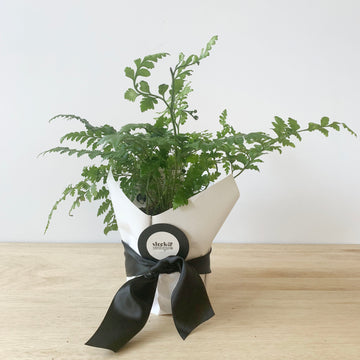 Leather Fern Plant Gift - Adelaide Plant Gift Delivery