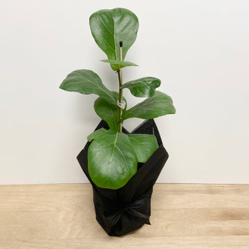 Fiddle Leaf Fig - Ficus Lyrata - Indoor Plant Gifts Adelaide