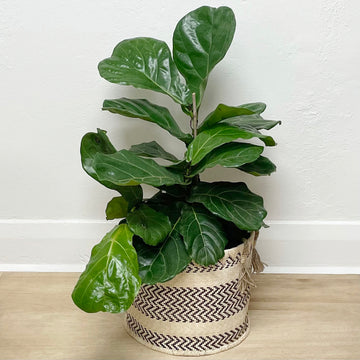 Fiddle Leaf Fig Plant in Natural Feature Woven Basket Pot Cover - Plant Gift delivery Adelaide