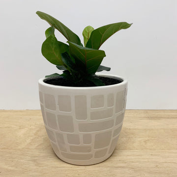 Fiddle Leaf Fig in Feature Cream/white Pot - Indoor Plant Gift Delivery