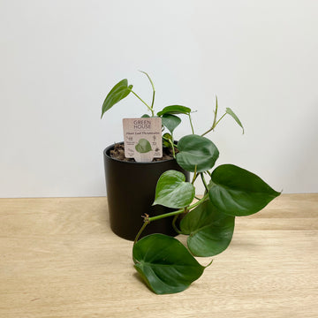 Large Heart Leaf Philodendron Indoor Plant and Black Pot - Indoor Plant Gifts Adelaide