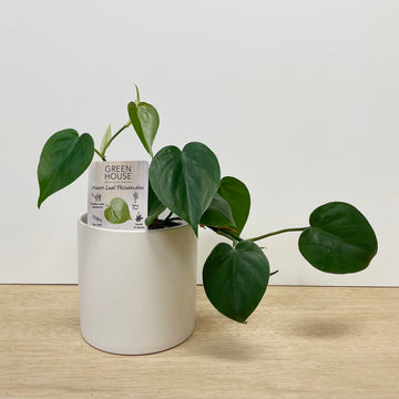 Heart Leaf Philodendron Indoor Plant - Sleek and Unique Gift Delivery