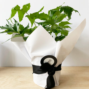 Plant Gift Delivery Adelaide - Holly Fern - Sleek and Unique Gifts